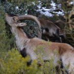 lagunas de ruidera cabra montesa